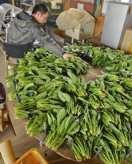 寒締めホウレンソウの収穫&出荷